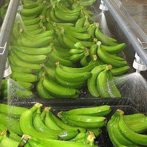 Safrax Chlorine Dioxide Post Harvest Banana Washing